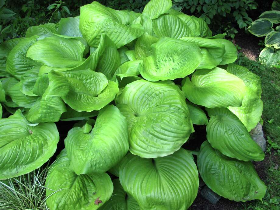 Hosta plants are easy to divide. Photo: Contributed Photo