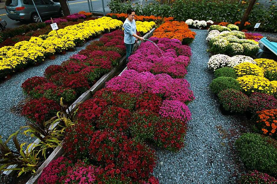 Sarah Sherman 27, of Scranton, Pa. an employee with The Mulberry Bush Nursery Floral & Gift Shop, waters a section of colorful mum's on Monday, Sept. 16, 2013 on Mulberry Street in downtown Scranton, Pennsylvania. Sherman said she water's the mum's once a day, close to 500 mum's seperately,which takes her about an hour and a half to complete.     (AP photo / The Scranton Times-Tribune, Butch Comegys)  MANDATORY CREDIT Photo: Butch Comegys, Associated Press