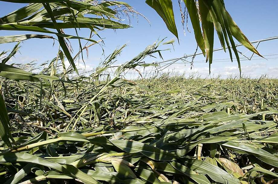 Corn stalks in Mark Weiseler's Franklin County field Monday Sept. 16, 2013,  near the intersection of Garfield and Ironwood roads were knocked to the ground by Sunday's storm. (AP Photo/Tri-City Herald, Bob Brawdy ) Photo: Bob Brawdy, Associated Press