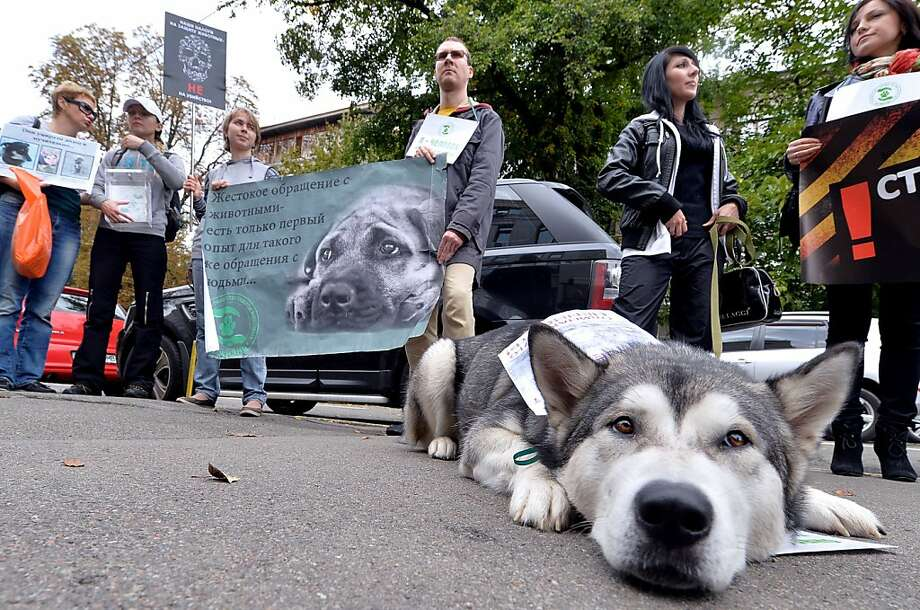 Stop killing dogs, Ukraine: A husky lies by its owner during an animal rights rally held outside the Ministry of Interior in Kiev. The 