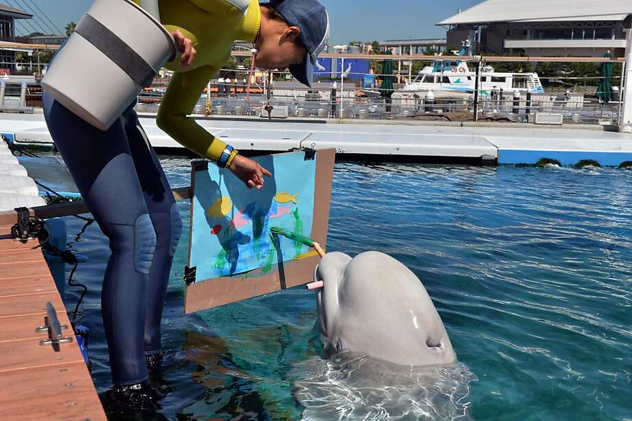You can't rush genius: An aquarium worker urges on a Beluga whale painting a seascape at the Hakkeijima Sea Paradise in Yokohama, Japan. Photo: Yoshikazu Tsuno, AFP/Getty Images