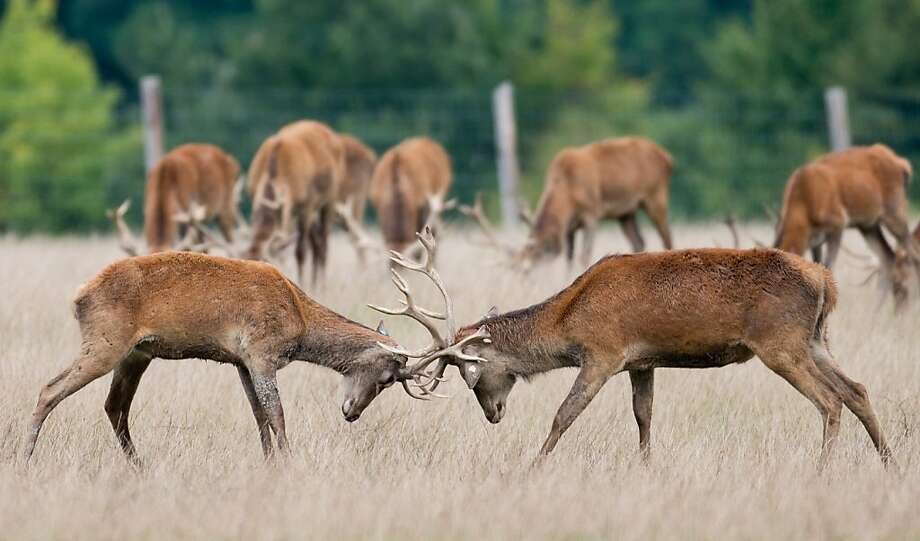 Great. Our antlers are locked. Now what?Two young bucks battle for dominance in a deer park in Birkholz, Germany. Photo: Patrick Pleul, AFP/Getty Images