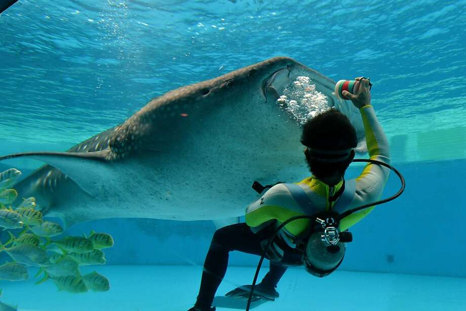 The hard part is burping him:A diver bottle-feeds a whale shark at the Hakkeijima Sea Paradise aquarium in Yokohama, Japan. Photo: Yoshikazu Tsuno, AFP/Getty Images