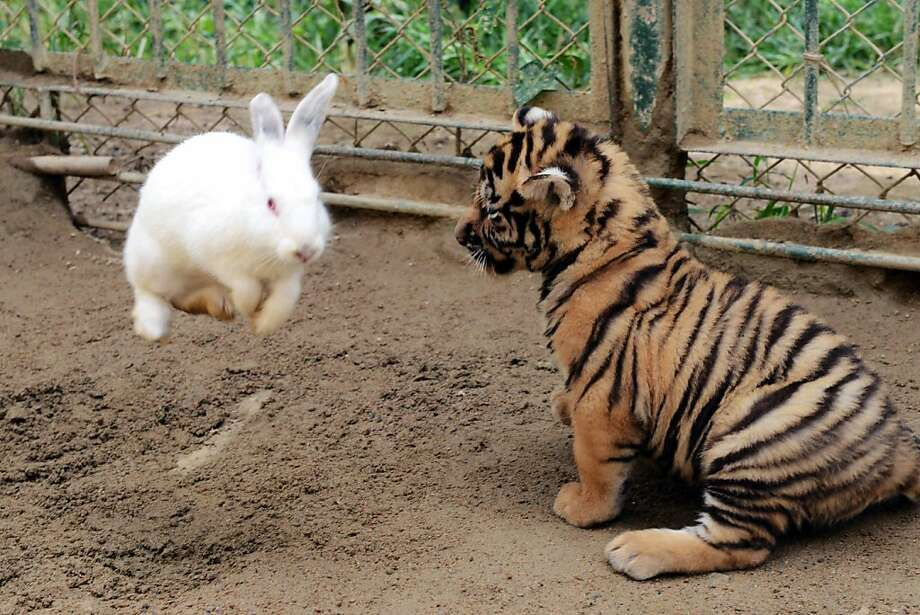 Silly tiger. Tricks are for rabbits. (Qingdao Forest Wild Animal World in Qingdao, China.) Photo: Stringer, AFP/Getty Images