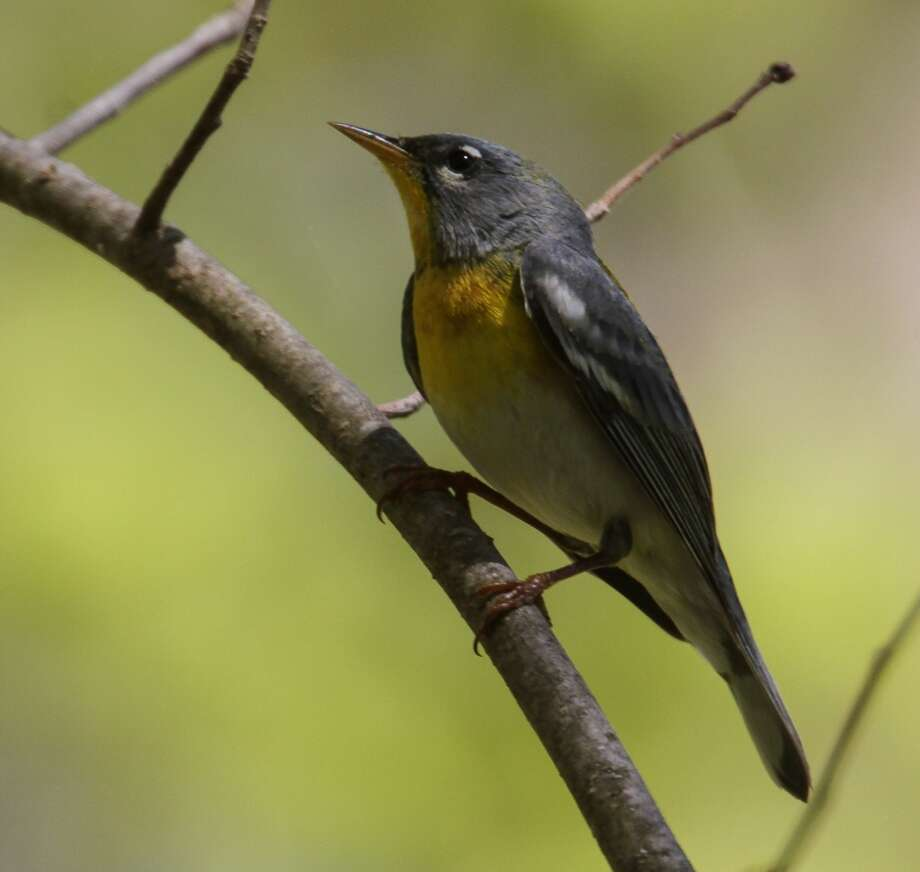 Northern Parula at end of River Road in Kent, CT Photo: John Hannan, All Rights Reserved