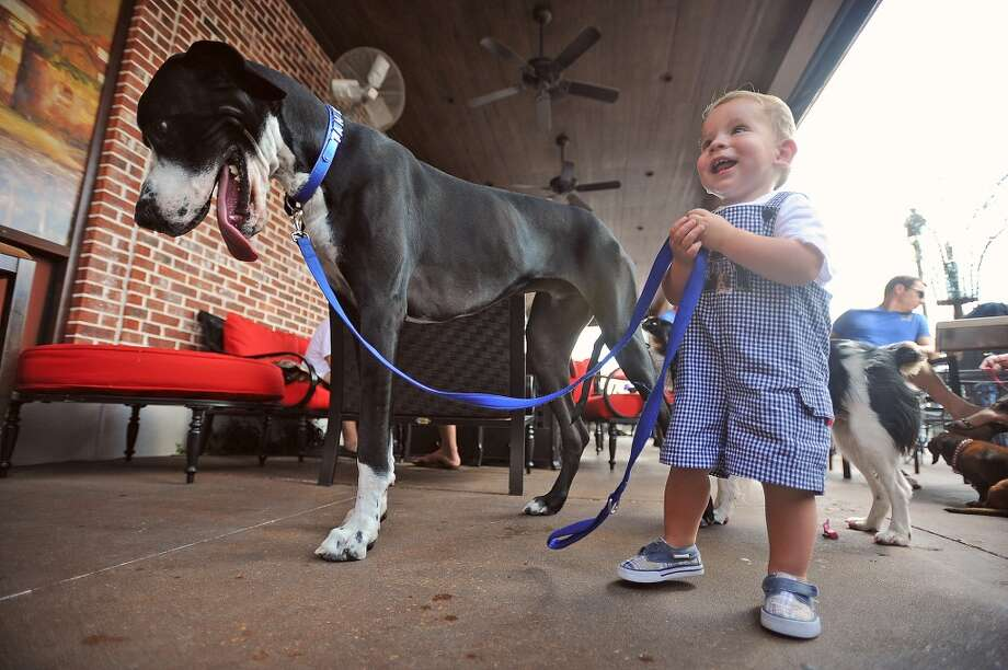 Lachlan Branson walks Tank a Great Dane during a Bark for Life event at Goodfellas on Sunday. As part of an event to raise awareness, the Bark for Life campaign invited the animals to the restaurant. Photo taken Sunday, August 21, 2011. Guiseppe Barranco/The Enterprise Photo: Guiseppe Barranco/The Enterprise
