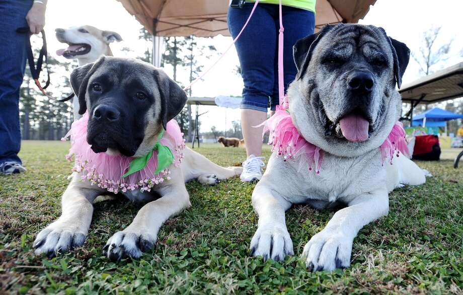 The American Cancer Society held their Bark for Life event at Tyrrell Park on Saturday, November 10, 2012.  This event brought out pups of all shapes and sizes.  Maggie, left, and Mae, right, also came out in support of Paws for Love.  Photo taken: Randy Edwards/The Enterprise