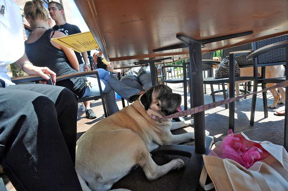 Mae an English Mastif takes a break from the sun under a table at Goodfellas on Sunday. As part of the Bark for Life campaign, dogs and their owners were invited to the restaurant to mingle.  Guiseppe Barranco/The Enterprise Photo: Guiseppe Barranco/The Enterprise