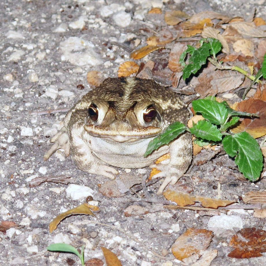 This toad is among the very few amphibians spotted on the Mims place during the ongoing drought. Photo: Forrest M. Mims III / For The Express-News