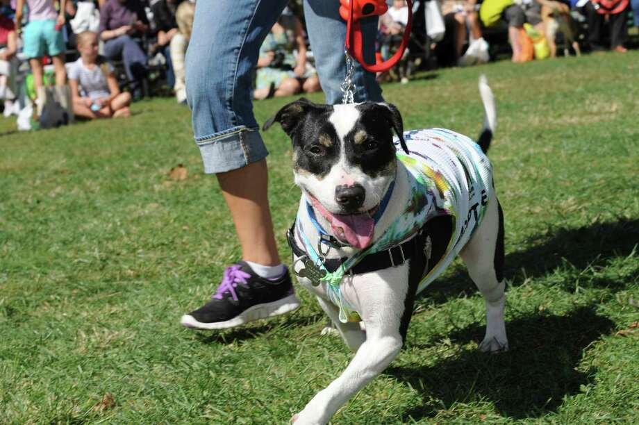 """Adopt-A-Dog's rescue Dillon looks for a home at Adopt-A-Dog's """"Puttin' on the Dog"""" at Roger Sherman Baldwin Park Sunday, Sept. 23, 2012. This nonprofit animal rescue and shelter organization returns with its 26th annual """"Puttin' on the Dog,"""" Sunday, Sept. 22, 2013. It will again be held at Roger Sherman Baldwin Park from 10 a.m. to 4:30 p.m. For more information, visit adopt-a-dog.org. Photo: Helen Neafsey / Greenwich Time"""