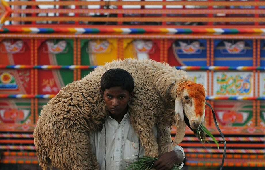 Woolen wrap: A Pakistani boy carries a sheep near a 