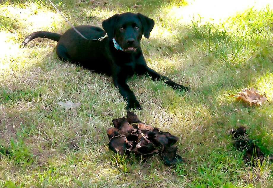 I thought they were Dad's slippers! Macy lies by a fungus in the front yard of her home in Akron, Ohio. The black lab got sick after she ate some of it, but she's better now. Photo: Kathy Antoniotti, McClatchy-Tribune News Service