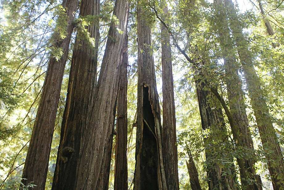A grove of redwoods rises high at Big Basin Redwoods State Park in the Santa Cruz Mountains. Photo: Tom Stienstra, The Chronicle