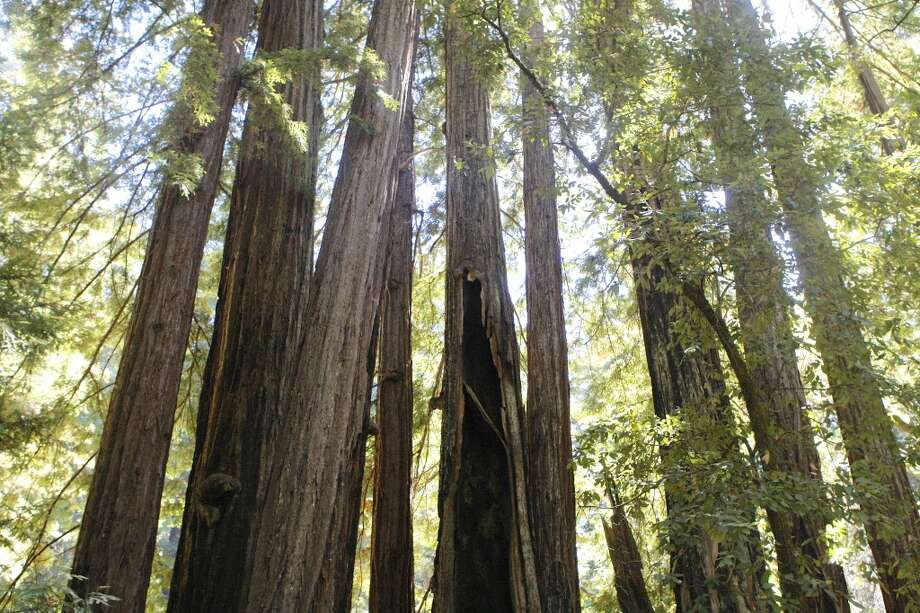 Gorgeous redwood canopy looks like a cathedral Photo: Tom Stienstra/The Chronicle