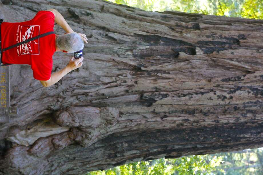 Paul Hicks of Knoxville, Tennessee, takes a photo of a big redwood tree -- the Father of the Forest -- on his first trip to see redwoods, last Friday at Big Basin Redwoods State Park Photo: Tom Stienstra/The Chronicle
