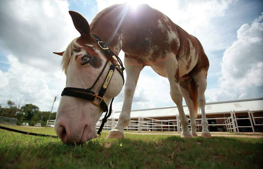 The $10,000 sponsorship will cover his care, boarding, and training for the next two years as he joins the HPD Mounted Patrol on Wednesday, Sept. 18, 2013, in Houston. Photo: Mayra Beltran, Houston Chronicle / © 2013 Houston Chronicle