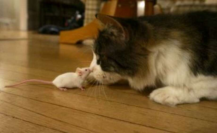 A mouse infected with the Toxoplasma parasite loses its fear of cats, which is good for both the parasite and the cat. The cat gets an easy meal, while the parasite gets into the cat's intestinal system, the only place it can sexually reproduce and complete its cycle of infection. (Photo by Wendy Ingram, UC Berkeley) Photo: Multiple