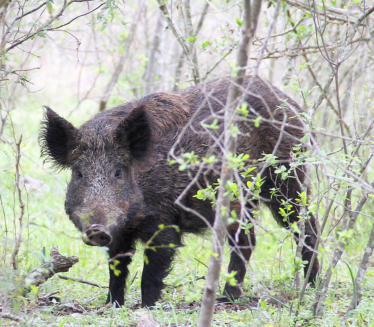 Bottomlands along the Sulphur River and White Oak Creek offer the best chance at feral hogs.