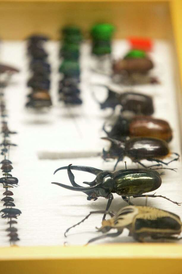 Beetles stored at the Museum of Natural Science's Marconi street warehouse, which will allow visitors, for a price, to tour same, Sept. 19, 2013 in Houston. Photo: Eric Kayne, For The Chronicle / ©Eric Kayne 2013
