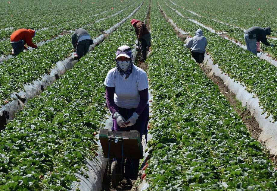 Migrant workers harvest strawberries at a farm near Oxnard, Calif. Photo: JOE KLAMAR, Staff / AFP ImageForum