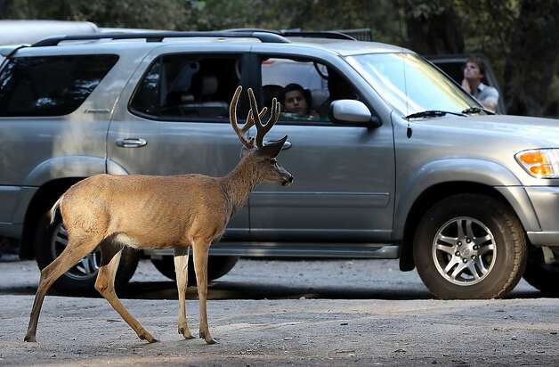 A deer strolls through a parking lot in Yosemite National Park. The Rim Fire means reduced food supply and habitat. Photo: Justin Sullivan, Getty Images