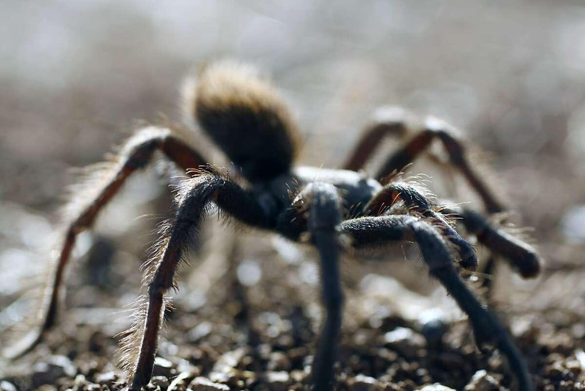 A male tarantula skitters along in Mount Diablo State Park.