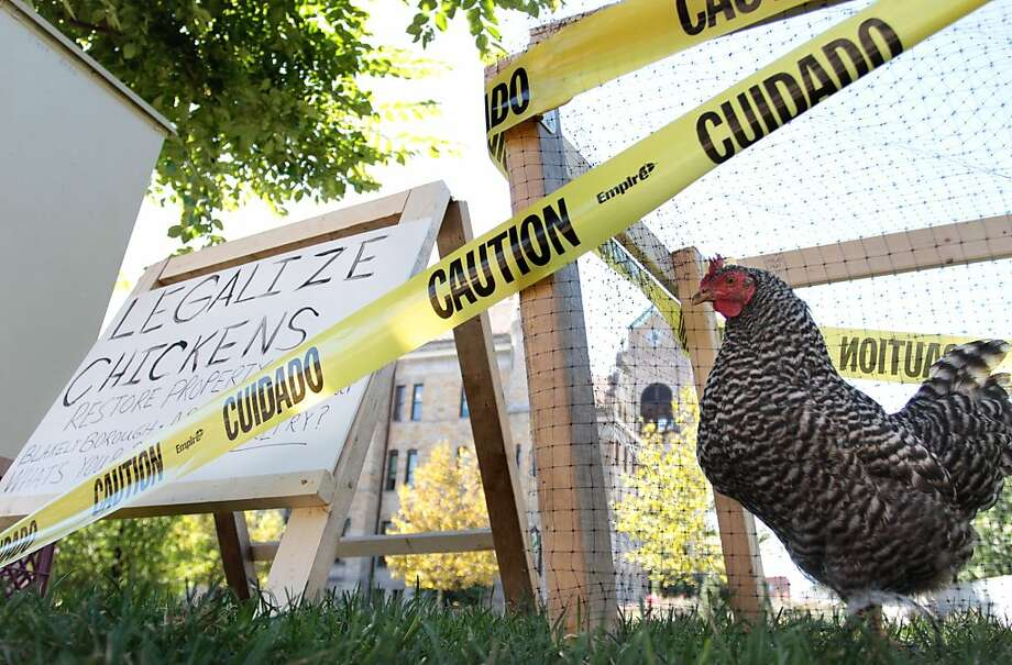 "Valley View High School student Evan Zavada, 18, of Peckville, Pa., placed a Barred Rock Hen in a temporary cage by the Lackawanna County Court House Square in Scranton, Pa,. on Thursday, Sept 19, 2013, as he tries to create awareness about laws prohibiting the raising of chickens in Peckville.  Zavada said he plans to present a bill named ""Lackawanna Right to Grow Act"", to the Lackawanna County Commissioners Office.  The bill Zavada plans to presents is a revised bill from the state of Georgia. ( AP Photo/The Times-Tribune, Jake Danna Stevens)   WILKES BARRE TIMES-LEADER OUT; MANDATORY CREDIT Photo: Jake D.Stevens, Associated Press"