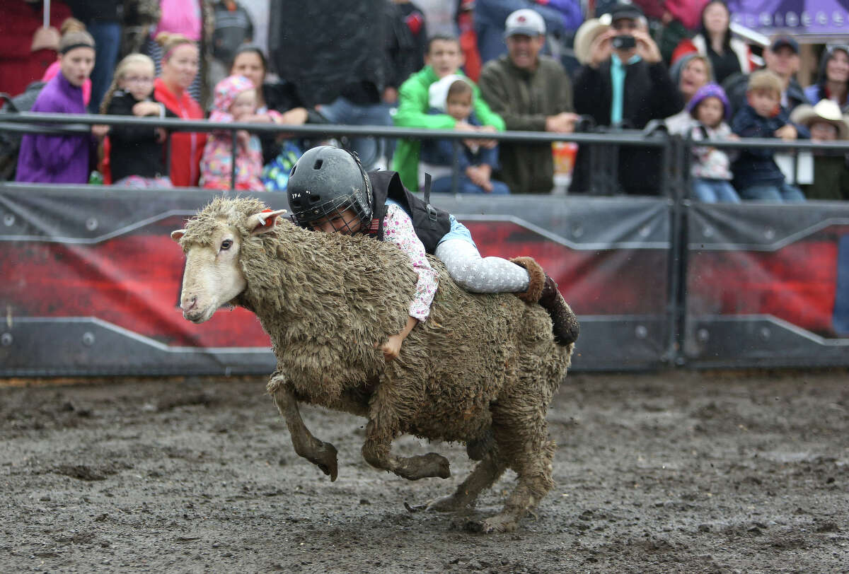 A young buckaroo rides a sheep in the Wool Riders Only mutton busting competition during the 2013 Washington State Fair in Puyallup. The Washington State Fair, formerly known as the Puyallup Fair, has drawn large crowds each day since it opened on Sept. 6. The Fair continues through Sunday, Sept. 22.