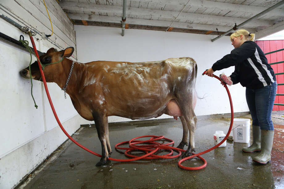 Abby Smaciarz of Raymond, Wash. cleans one of her cows during the 2013 Washington State Fair in Puyallup. The Washington State Fair, formerly known as the Puyallup Fair, has drawn large crowds each day since it opened on Sept. 6. The Fair continues through Sunday, Sept. 22. Photo: JOSHUA TRUJILLO, SEATTLEPI.COM / SEATTLEPI.COM