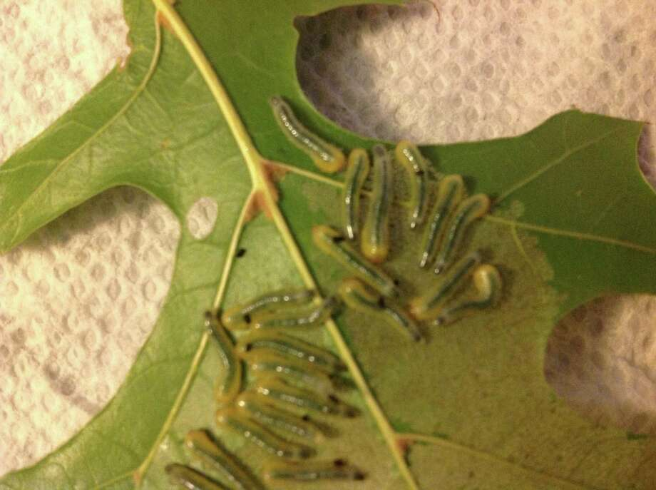 Larvae of sawflies ruin leaves but do no long-term damage to Shumard red oaks. Photo: Courtesy Photo