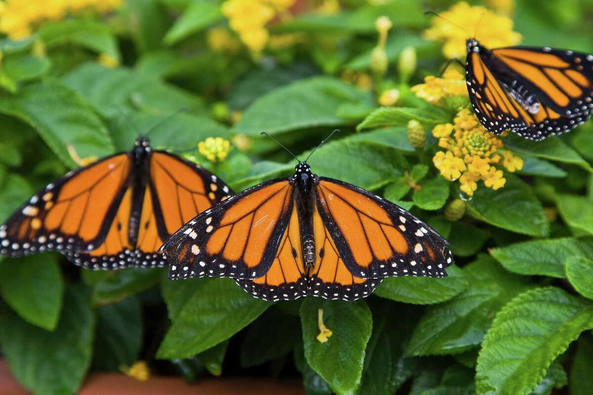 Beginning now through October, we should see an influx of migrating monarch butterflies. Photo Credit: Kathy Adams Clark Restricted use.