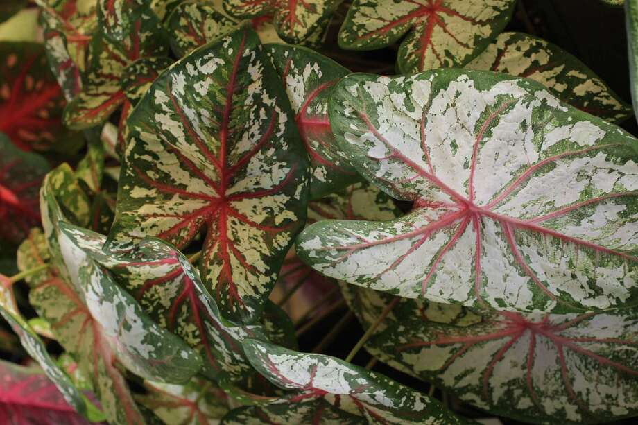 Caladiums For Sun And Shade Selected In Summer Trials