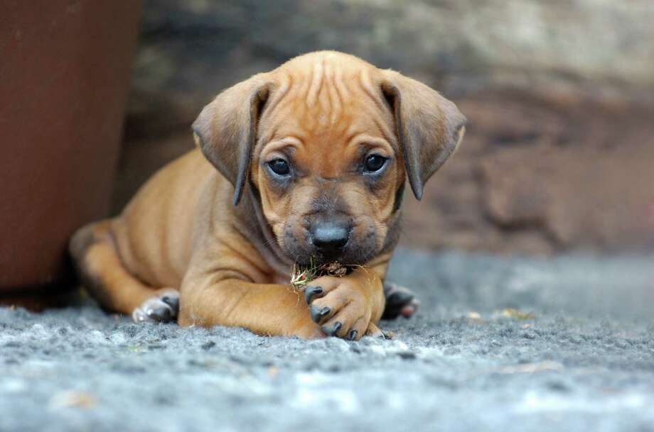 cute Rhodesian Ridgeback puppy Photo: Nancy Dressel / iStockphoto