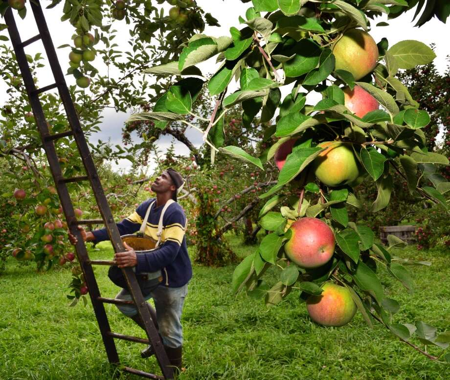 New York: Farm worker Denroy Shakes looks for ripe MacIntoshes as he spot picks apples at Goold Orchards in Schodack, NY. Photo: John Carl D'Annibale, Albany Times Union