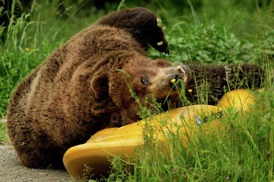 A grizzly bear investigates a scented kayak to show what can go wrong when food and garbage aren't stored properly in bear country during a mock campsite demonstration at Woodland Park Zoo's Bear Affair. Photo: JORDAN STEAD, SEATTLEPI.COM / SEATTLEPI.COM