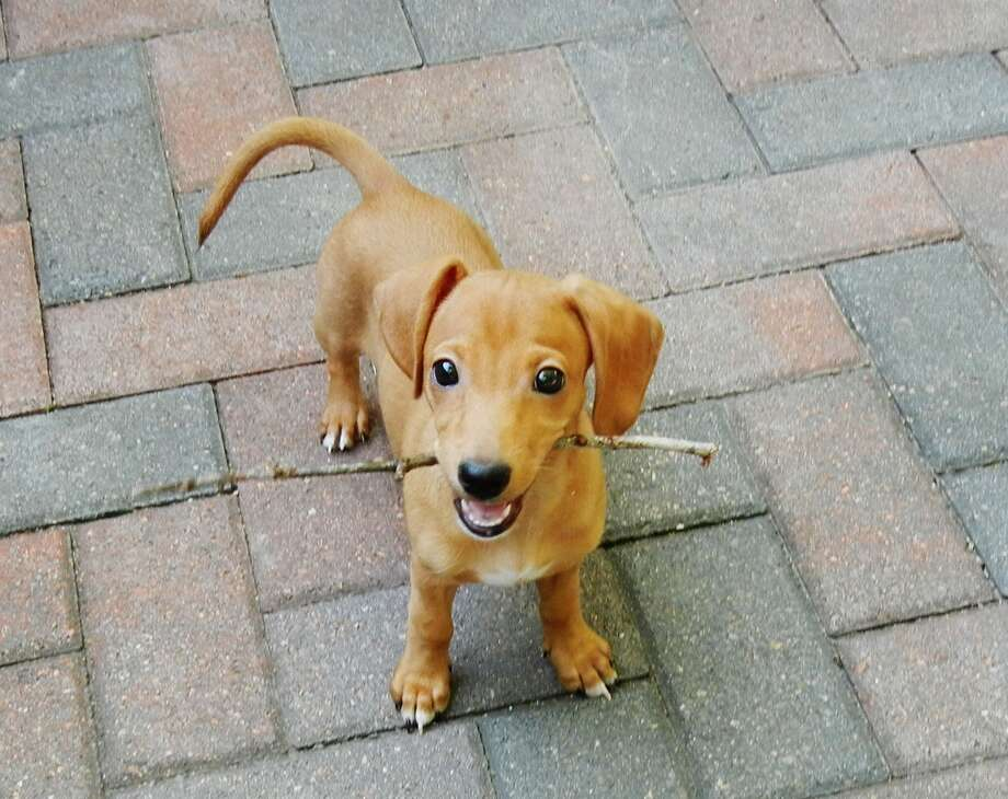 Gretchen will be at the Second Chance Pets fundraiser Thursday, Oct. 17, at the Lakewood Yacht Club in Seabrook. The Fund-a-Need live auction item will go toward Gretchen's medical costs; the dachshund puppy almost died of canine parvovirus. Photo: Second Chance Pets
