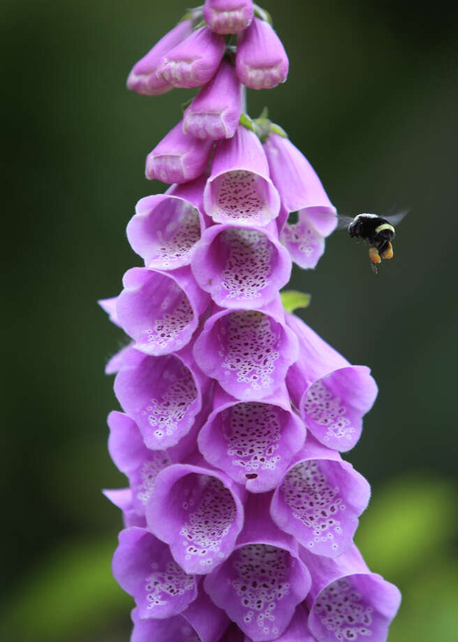 A bee hovers near a plant in North Seattle. Photo: JOSHUA TRUJILLO, SEATTLEPI.COM / SEATTLEPI.COM