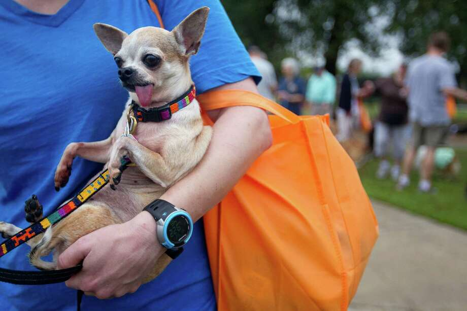 "Charlo Peterson holds Margo, a Chihuahua, after they joined hundreds of dogs and their owners who walked around T.C. Jester Park during the Best Friends Animal Society Strut Your Mutt walk and fundraiser Saturday, Sept. 21, 2013, in Houston. ""We only made it a few yards,"" Peterson laughed. ""We were close to last, but that's alright."" Photo: Johnny Hanson, Houston Chronicle / Houston Chronicle"