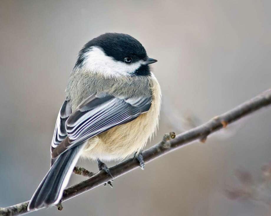 An undated photo provided by the Cornell Lab of Ornithology shows a Black-capped chickadee.  A chickadee's two-note song and a song sparrow's trill can be subtly modified by low levels of PCBs, according to a study published this week in the journal PLOS ONE. Photo: AP