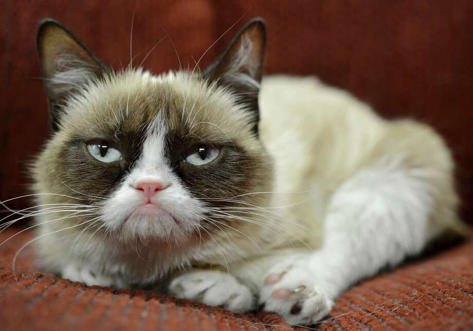 "In this undated photo provided by Nestle Purina PetCare is Grumpy Cat. It probably won't affect her famous mood, but Grumpy Cat now has an endorsement deal. The St. Louis-based company announced Tuesday, Sept. 17, 2013, the frown-faced Internet sensation, real name Tardar Sauce, is now the ""spokescat"" for a Friskies brand of cat food. Photo: AP"