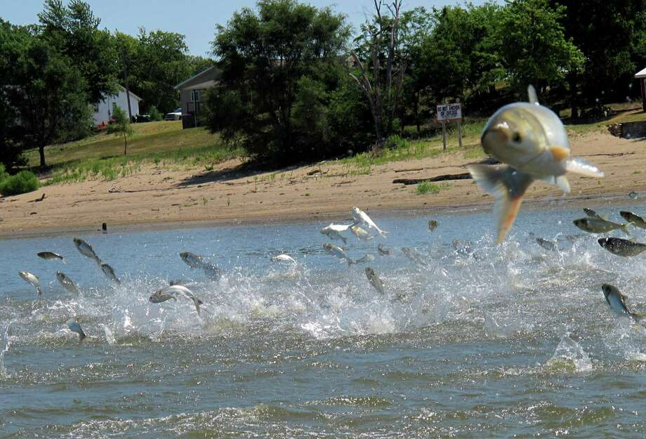 FILE- This June 13, 2012, file photo shows Asian carp, jolted by an electric current from a research boat, jumping from the Illinois River near Havana, Ill. Canadian scientists say a small number of Asian carp might be enough to establish a population in the Great Lakes, where they would pose serious threats to other fish and the region's economy. Photo: AP