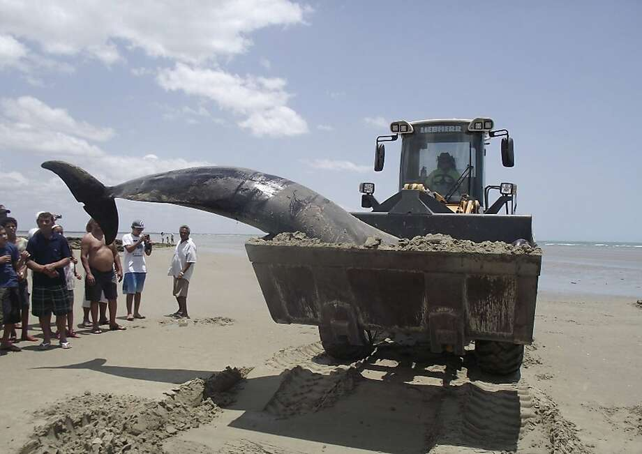 In this photo released by the Voz de Areia Branca, a community news blog, a dead dolphin is carried with a tractor on Upanema beach in the Areia Branca municipality of Rio Grande do Norte state, Brazil, Sunday, Sept. 22, 2013.  Around 30 large dolphins known as false killer whales beached themselves in northeastern Brazil.  (AP Photo/Carlos Junior, Voz de Areia Branca) Photo: Carlos Junior, Associated Press