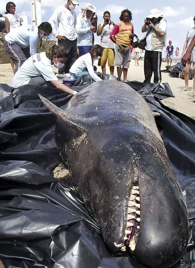 I said, 'eaaaaaaaasy big fella': Biologists inspect a dead dolphin on Upanema beach in the Areia Branca municipality of Rio Grande do Norte state, Brazil. Photo: Carlos Junior, Associated Press