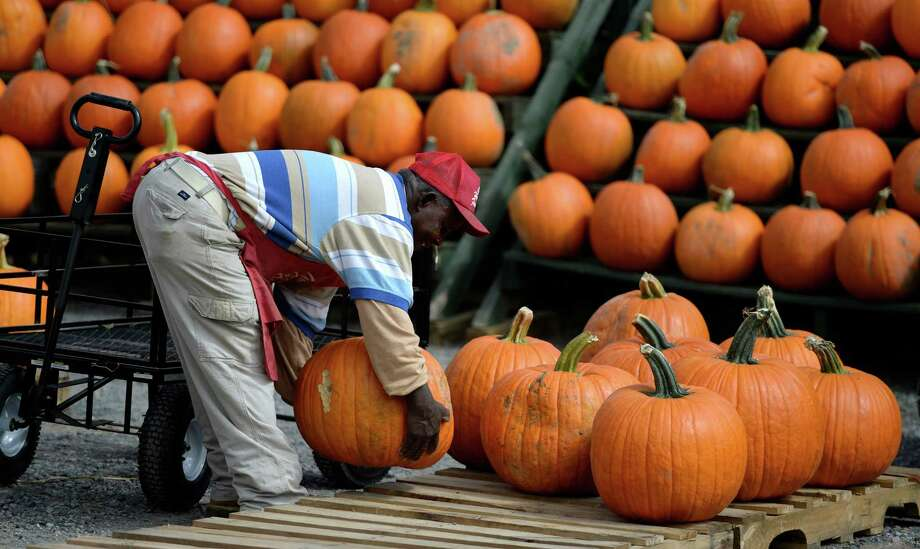 Worker Edward Tyrell works on a display of pumpkins Monday afternoon, Sept. 23, 2013, at the Golden Harvest Orchards in Valatie, N.Y. (Skip Dickstein / Times Union) Photo: Skip Dickstein