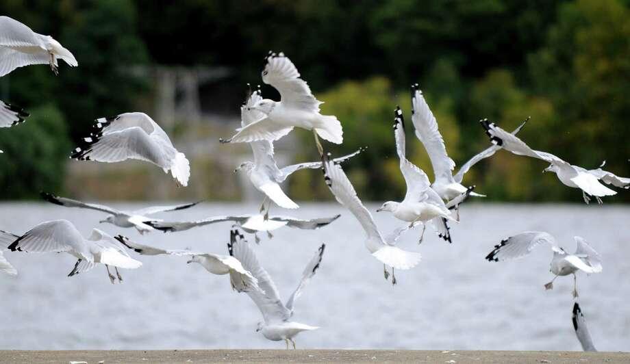 Gulls take flight Monday afternoon, Sept. 23, 2013, from Lock 7 in Niskayuna, N.Y. (Will Waldron/Times Union) Photo: WW