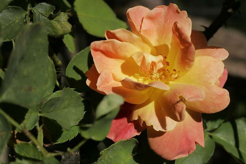 Roses that grow well in relatively sunny San Francisco locations include  'Joseph's Coat.'