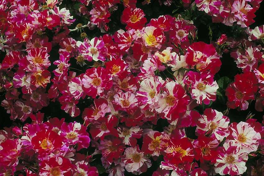 'Fourth of July,' a semi-double, rose with red stripes splashed in white, is an excellent climber.