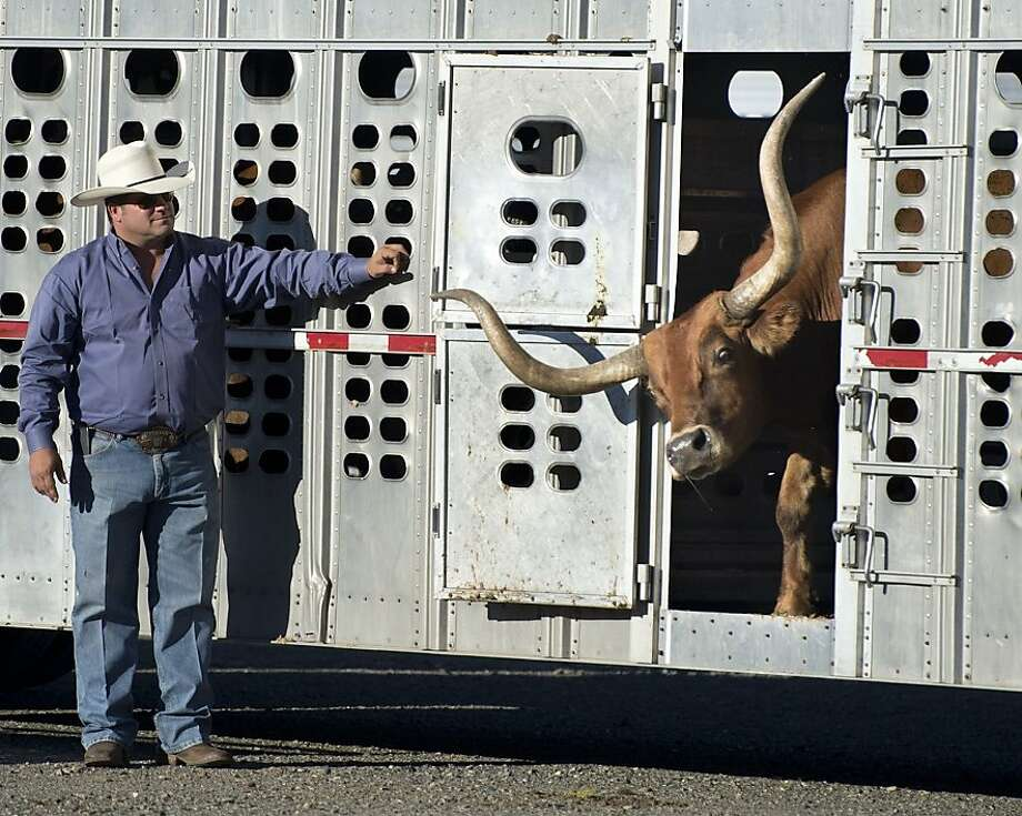 "Reno Rosser releases one of the 52 Texas longhorn steers which were lead across the Tower Bridge toward the Capitol on Monday, Sept. 23, 2013 in Sacramento, Calif as one of dozens of events set for ""Farm-to-Fork Week,"" which runs through Sept. 29. (AP Photo/The Sacramento Bee, Randy Pench) Photo: Randy Pench, Associated Press"
