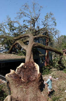 Bill MacNiven, 75, of Beaumont, Tx, is dwarfed by half of what was the oldest tree in Beaumont, Texas, Monday.The tree, which is his neighbor's yard, was split in half like a walnut by Hurricane Rita on Saturday.
