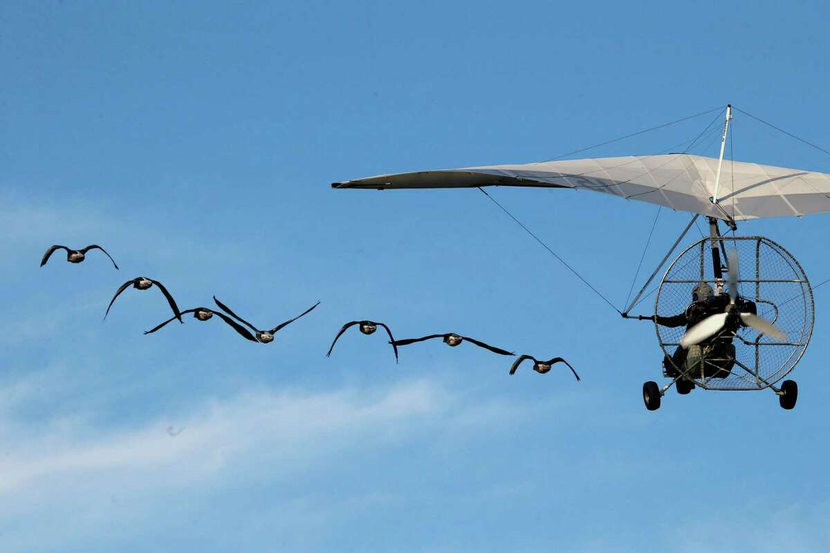 French pilot and migratory bird protector Christian Moulec accompanied by Lesser White-fronted Geese performs an ultra light flight during the 40th Icare Cup paragliding festival in Saint Hilaire du Touvet, French Alps, Saturday, Sept. 21, 2013. The